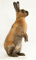 Sooty-fawn Dwarf Rex rabbit sitting tall