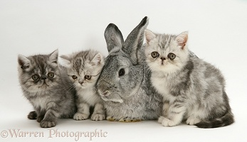 Silver Exotic kittens with silver Lop rabbit