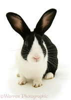 Black Dutch rabbit
