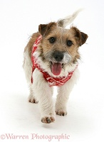 Jack Russell Terrier in snowflake coat