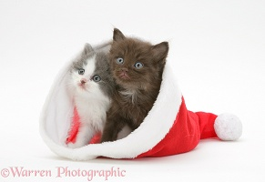 Kittens in a Santa hat