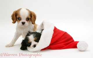 King Charles puppies in a Santa hat
