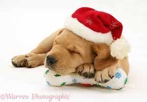 Retriever pup asleep with Santa hat and toy bone
