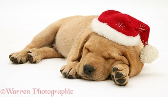 Retriever pup asleep with Santa hat