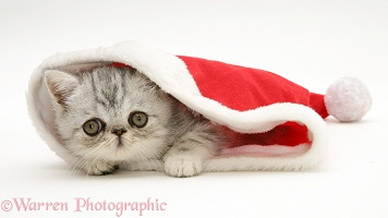 Blue-silver Exotic kitten in a Santa hat