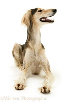 Saluki lying head up
