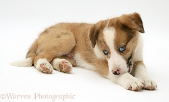 Border Collie pup chewing its leg