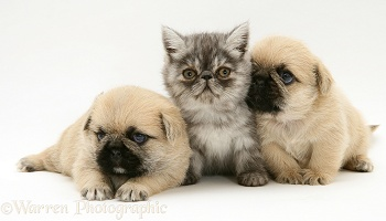 Pugzu (Pug x Shih-Tzu) pups and Exotic kitten