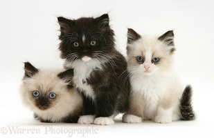 Birman-cross Persian kittens