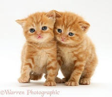 British shorthair red tabby kittens