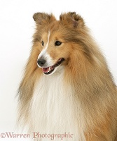 Sable Sheltie