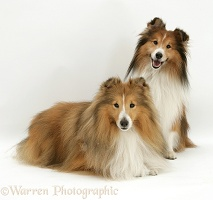 Two Sable Shelties