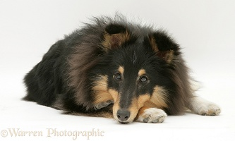 Sheltie with chin on paw