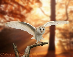 Barn Owl and sunbeams