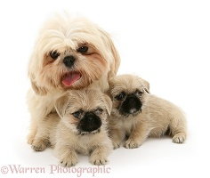 Shih-Tzu bitch with her two Pugzu (Pug x Shih-Tzu) pups