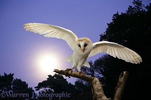 Barn Owl at moonrise