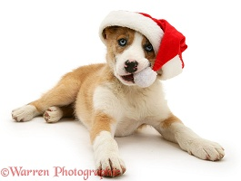 Border Collie pup chewing the bobble of his Santa hat