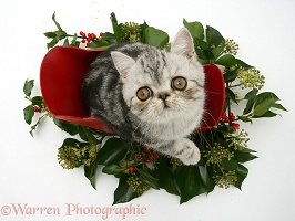 Exotic kitten in a festive sledge