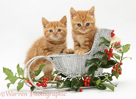 Ginger kittens with a festive sledge and holly