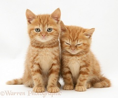 Sleepy Red tabby British Shorthair kittens
