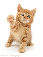 Red tabby British Shorthair kitten