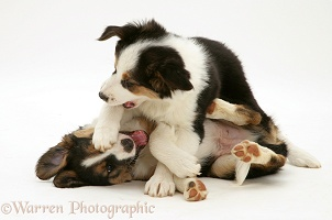 Tricolour Border Collie pups, brothers play-fighting
