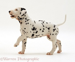 Dalmatian puppy walking