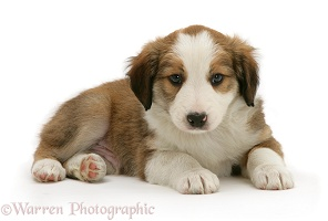 Sable-and-white Border Collie pup