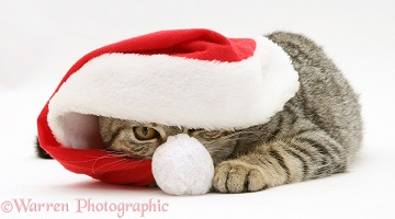 Tabby cat under Santa hat