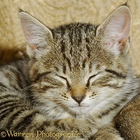 Sleepy tabby kitten
