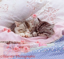 Silver tabby kittens asleep