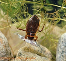 Great Diving Beetle feeding on stickleback