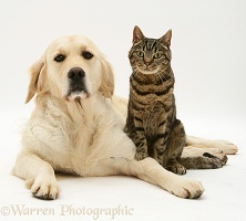 Golden Retriever and tabby cat