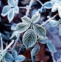 Frosty bramble leaf