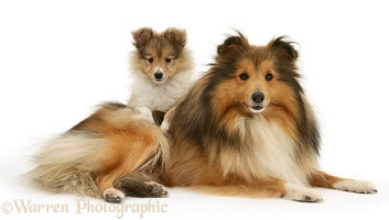 Sheltie mum and pup