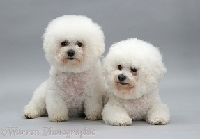 Two Bichon Frises