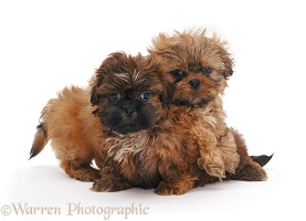 Two Shih-tzu pups