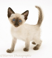 Blue-point Siamese kitten