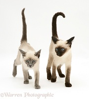 Seal-point and Blue-point Siamese kittens