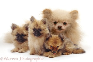 Pomeranian mother and puppies