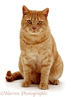 British Shorthair red tabby cat