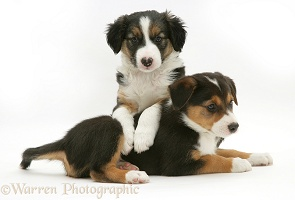 Two tricolour Border Collie pups, 8 weeks old brothers