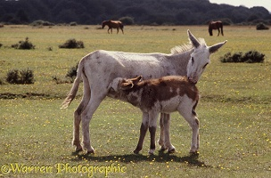 Donkey mare with suckling foal