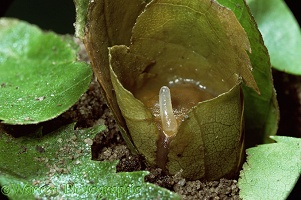 Leaf-cutting bee egg