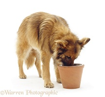 German Shepherd Dog eating from a raised bowl