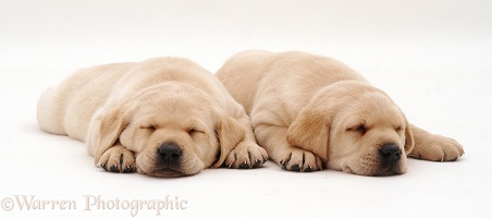 Sleeping Labrador puppies