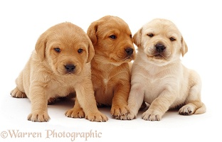 Trio of Labrador puppies