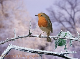 Robin on frosty bramble