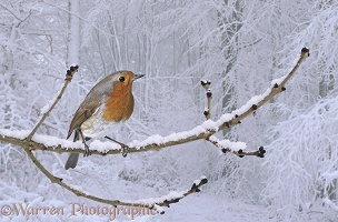 European Robin on snowy branch