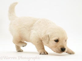 Golden Retriever puppy walking